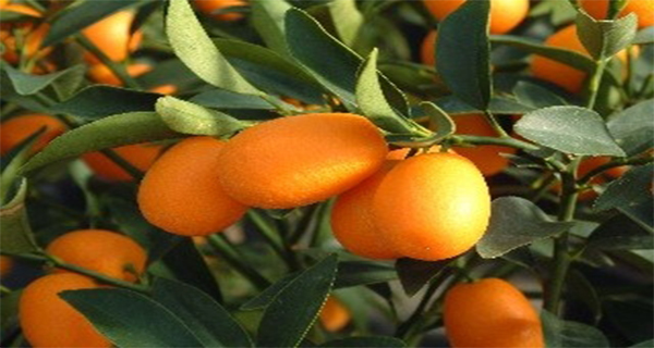 133b09d41b7d6e8d6594cc256cc5e998 Kumquat – Golden Orange in the Service of Your Health
