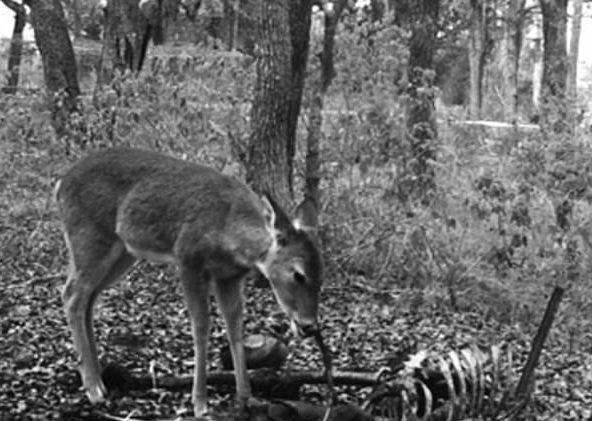 1453ca3bd14bc4e8e8626584398f9fad Deer caught feasting on human remains in discovery that will turn your stomach