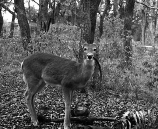 19e62a53cf910112a35a121e975c9be1 Deer caught feasting on human remains in discovery that will turn your stomach