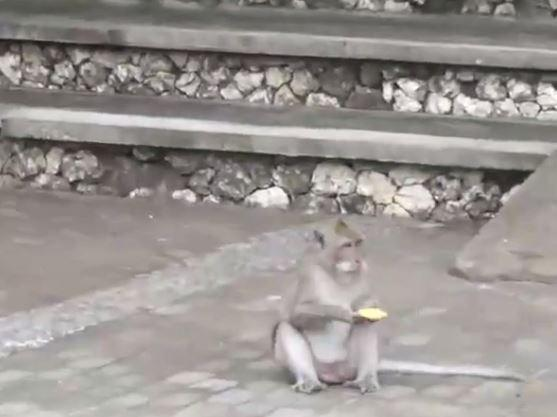 46d22cc67abcc6b23cdc4c83c833687f Macaques spotted stealing people's stuff and then 'selling it back' in exchange for food