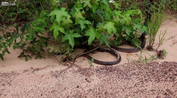 4713afa80f34804ef4202e0a86ce36f7 Horrifying video shows a snake escaping from inside another serpent's stomach