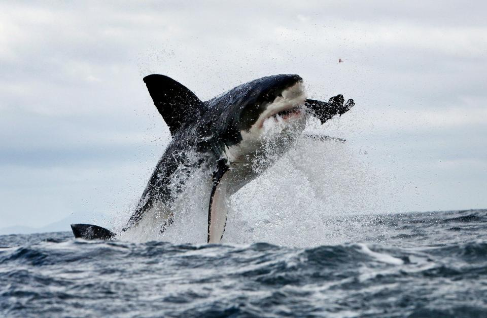 Do great white sharks or bull sharks attack and kill the