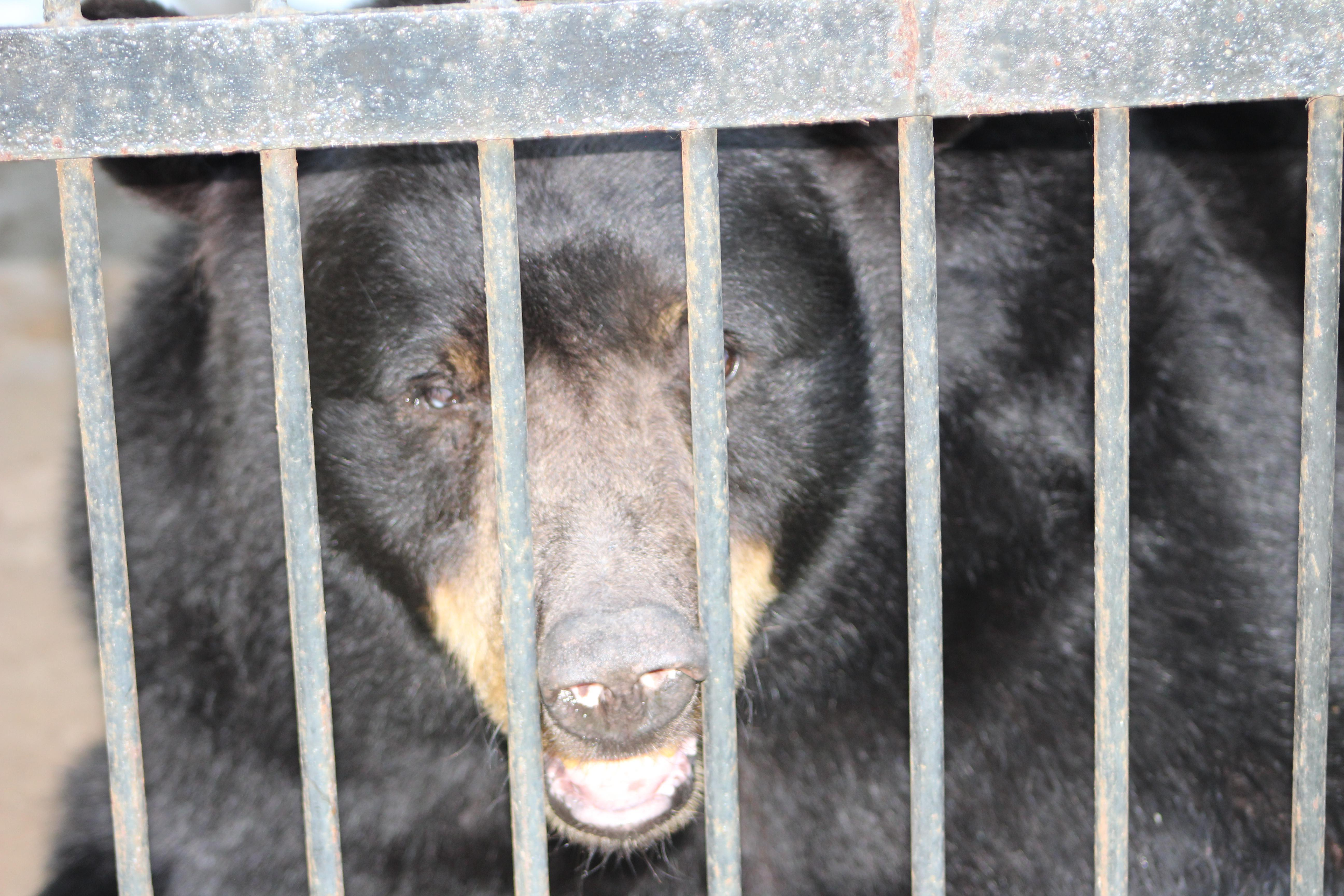 a74a78cd9557539dcd9c005494033352 Two 'long-suffering bears' rescued from 'tiny prison-like' cages and taken to new home in time for Christmas